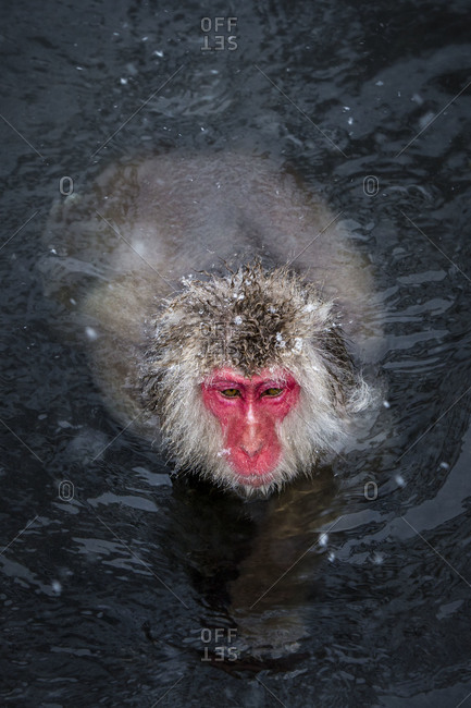 Japanese macaque wading through water