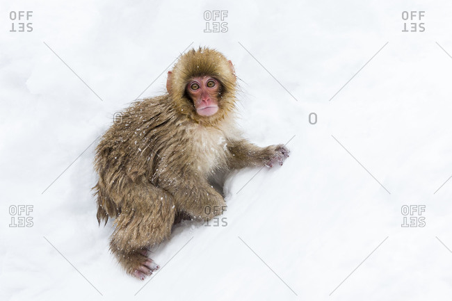 Young Japanese macaque sitting in snow
