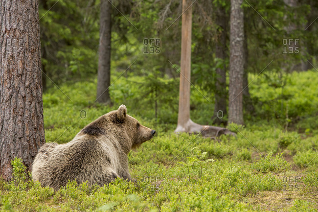 Brown bear lying beneath trees