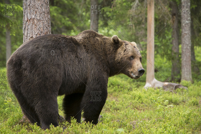 Brown bear standing in a clearing