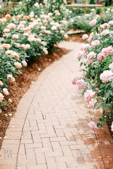 A path bordered by pink roses