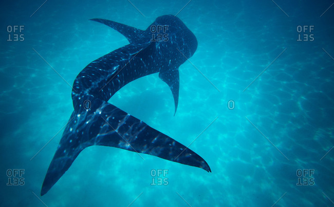 Whale shark in ocean, Philippines