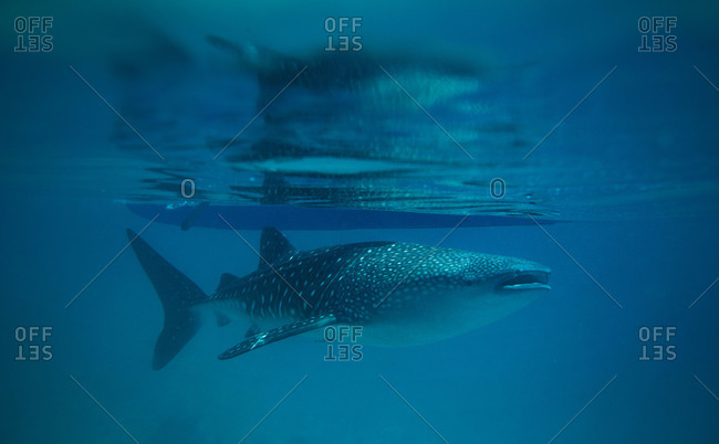 Whale shark at sea surface, Philippines