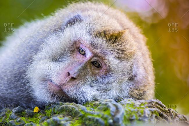 Portrait of tired monkey at Sacred Monkey Forest, Ubud