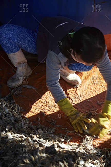 Worker preparing anchovies for fermentation for fish sauce