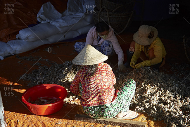 Women picking through anchovies in the production of fish sauce