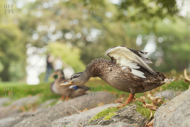 Duck flapping wings on rocks