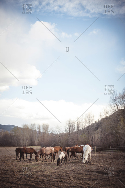 Horses grazing in a field in Kamloops, Canada