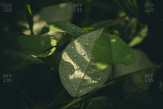 Dew on a leaf in the Guatemalan countryside