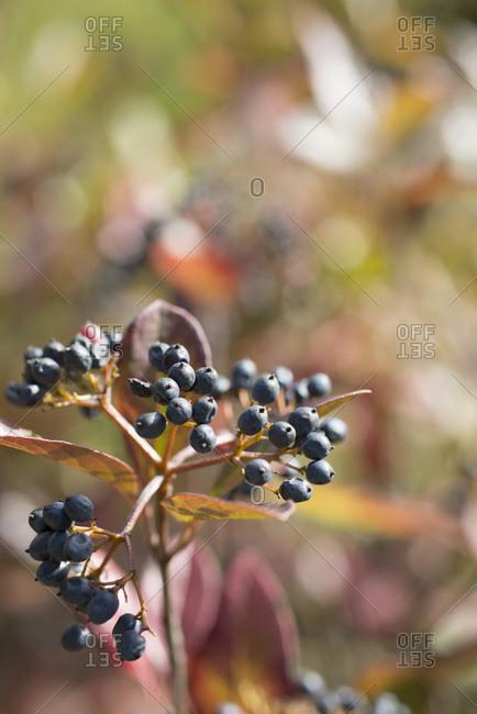Small black berries on a shrub