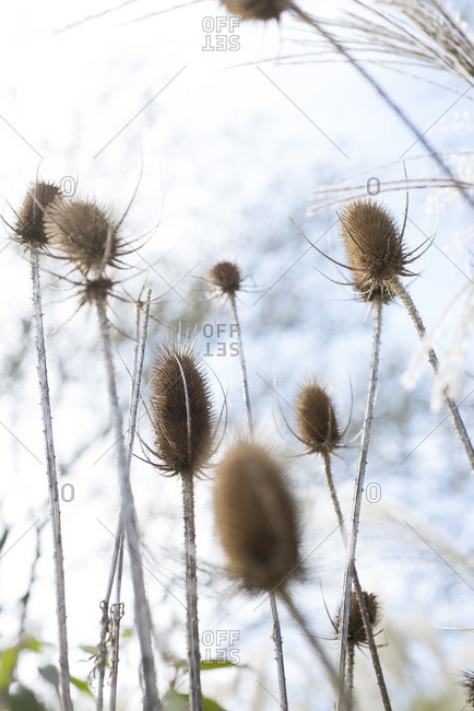 Dried teasel flowers against the sky