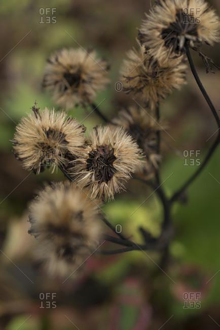 Ligularia seed heads