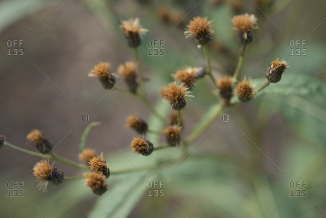 Brown flowers on a stem