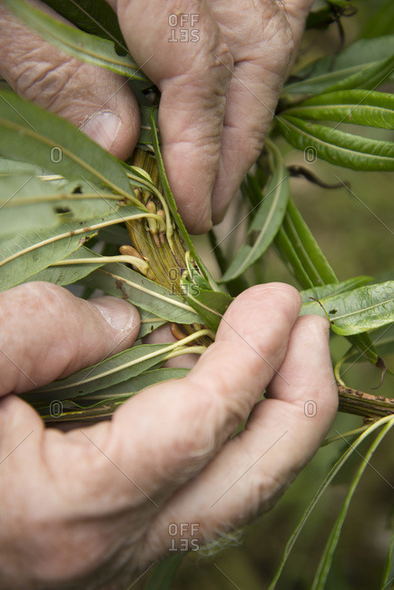 A man reveals seeds underneath the leaves of a plant