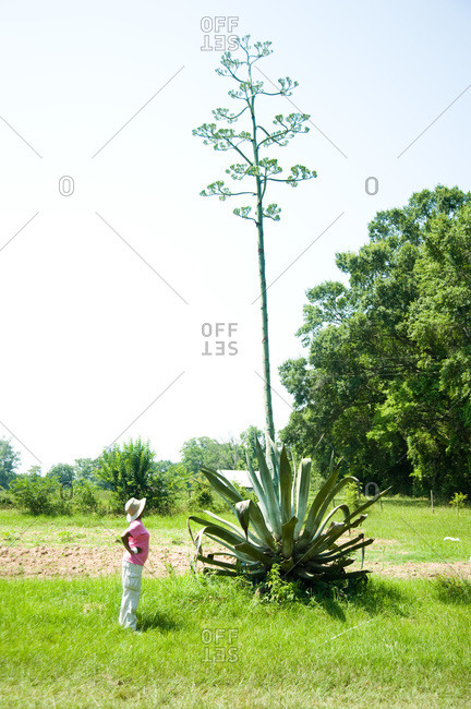 A farmer stands by an agave plant that is in bloom