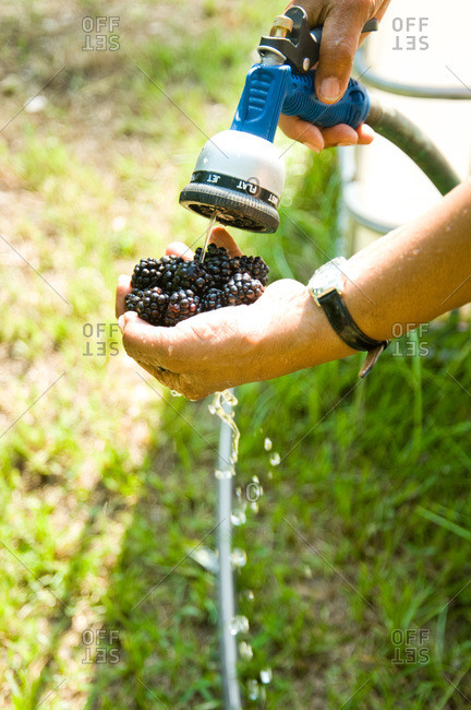 A farmer rinses freshly picked blackberries