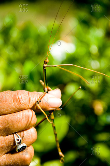 A farmer finds a stick bug