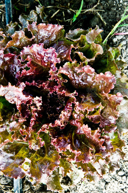 A head of red leaf lettuce growing at a Louisiana farm