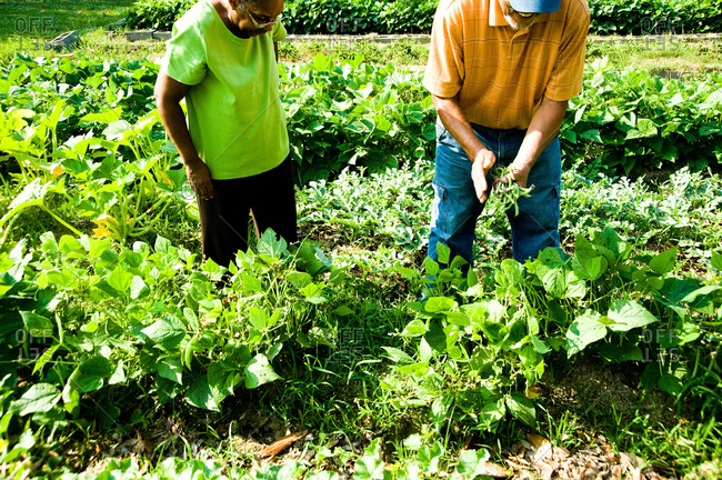 Baton Rouge, Louisiana - May 29, 2012: Dr. Owusu and his wife picking beans