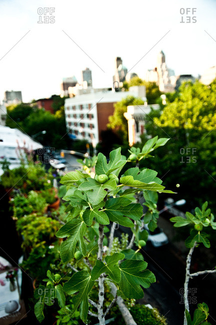A fig tree on a rooftop garden