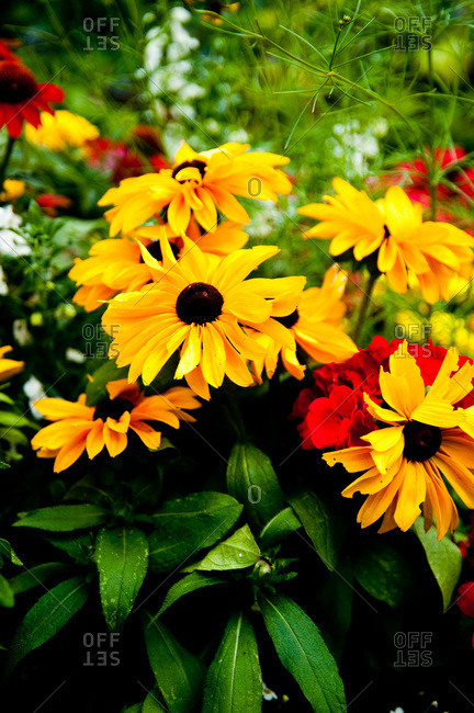 Black-eyed susans for sale at a store