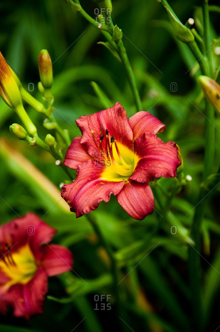 A red and yellow daylily for sale at a store