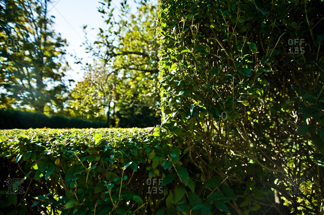 A hedge cut at a 90-degree angle in a yard