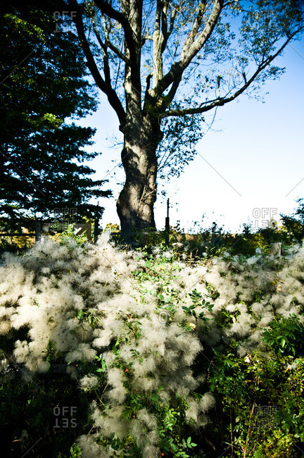 Fuzzy seeding plants in a yard