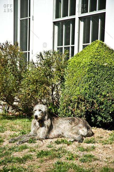 A dog lays in a yard