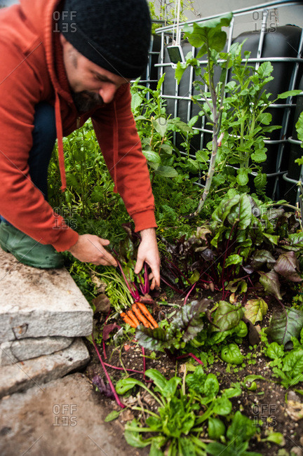 Holyoke, Massachusetts - February 11, 2013: Jonathan Bates harvests carrots in a greenhouse on an urban permaculture farm