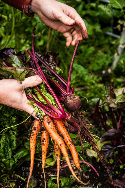 A man harvests carrots and beets in a greenhouse on an urban permaculture farm