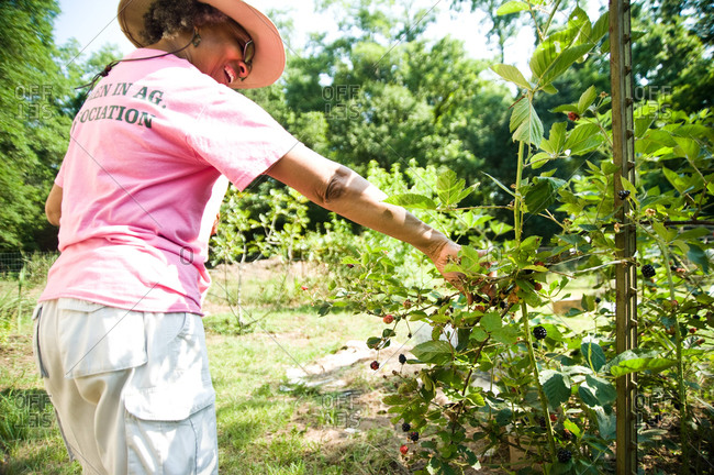 Colfax, Louisiana - May 28, 2012: Malva Kimble picks blackberries