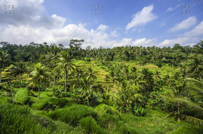Rice field near Tegalalang, Bali
