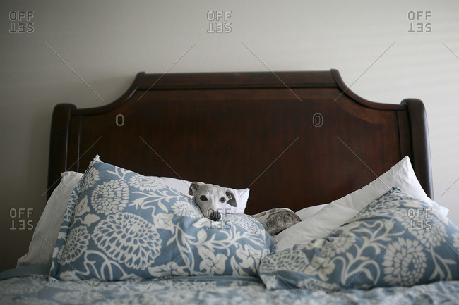 Dog lying on pillows