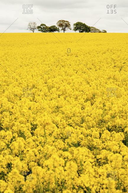 Field of rapeseed flowers