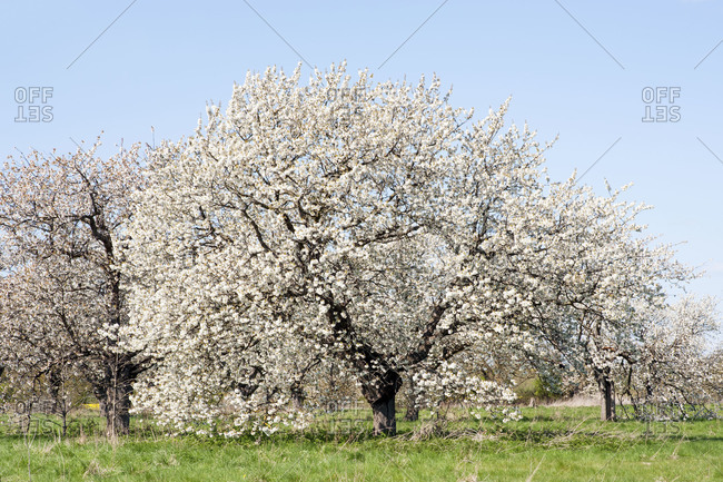 Cherry trees in bloom - Offset