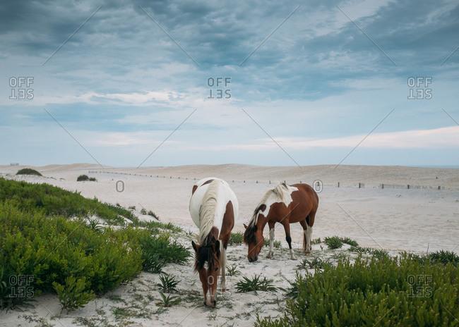 Free range horses grazing on beach