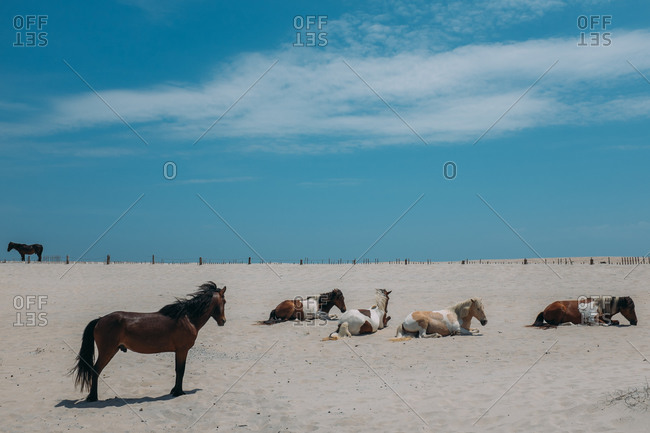Horse herd resting on beach