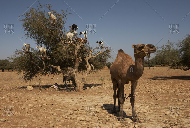Camel with goats in an Argane tree