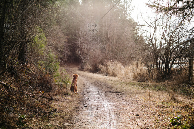 A dog waits on a forest trail