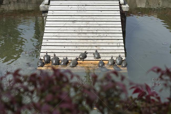 Turtles climbing up board walkway