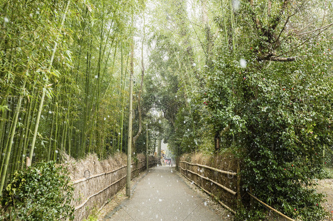 Snow falling in Japanese bamboo park