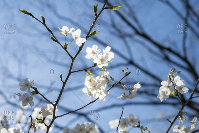 Branches with fresh flower blossoms
