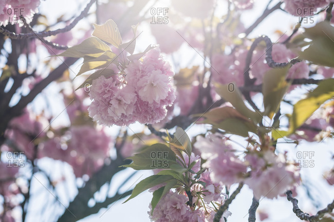 Sunlight through pink flower blossoms on tree branch