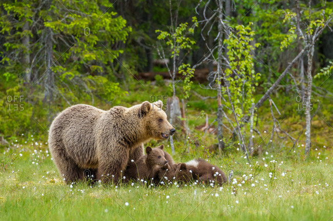 A family of Eurasian brown bears rests in a field