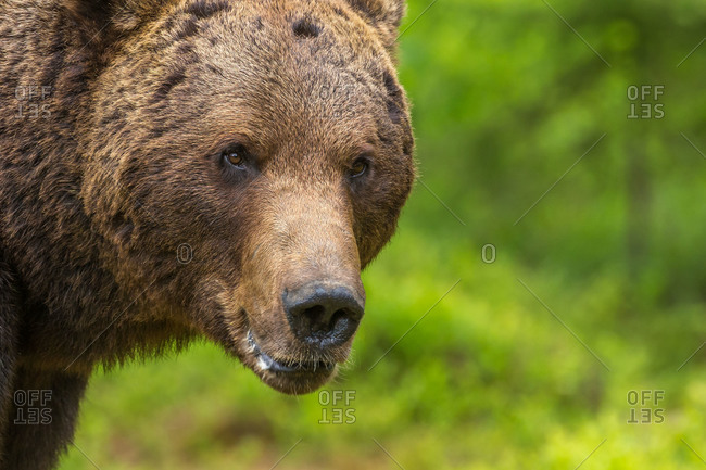 A close up of a brown bear in a field
