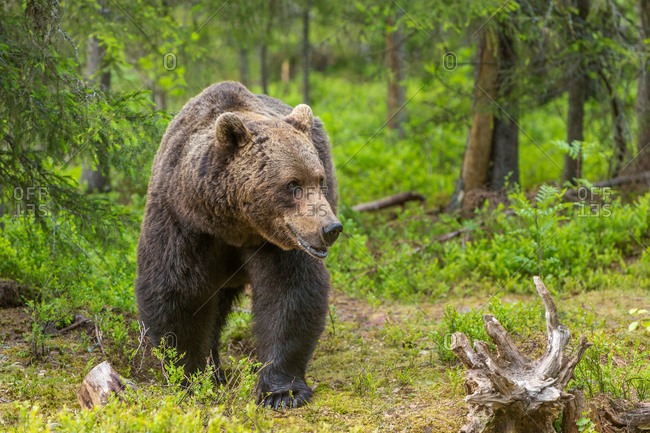 A brown bear walks in a field