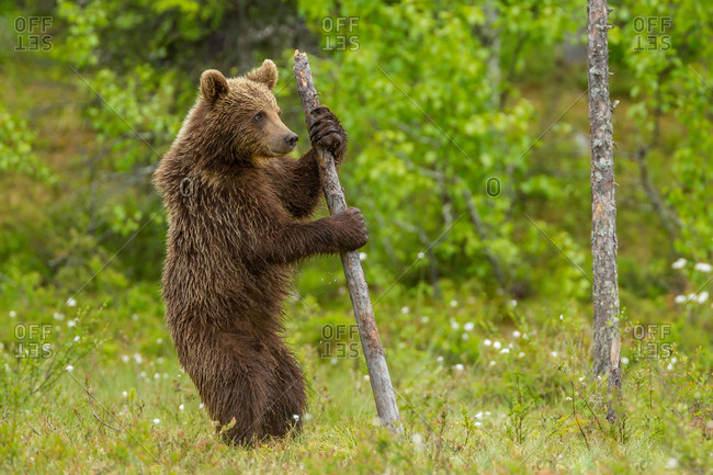 A brown bear on its hind legs clings to a dead tree stump