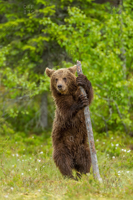 A brown bear climbs a dead tree stump