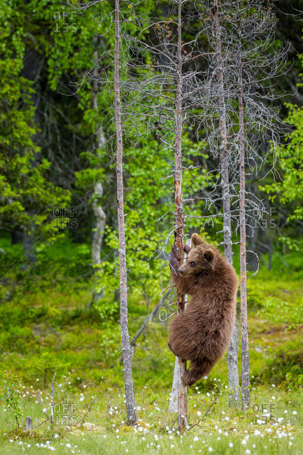 A brown bear climbs a dead tree